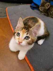 ADORABLE TORTI FEMALE KITTEN Blacktown Blacktown Area Preview