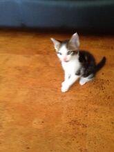 Kittens Strathfield Strathfield Area Preview
