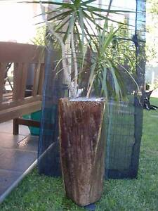 DRACAENA IN GLAZED POT Casula Liverpool Area Preview