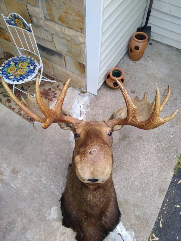 Moose head taxidermy