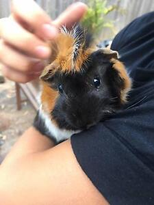 guinea pigs Hunters Hill Hunters Hill Area Preview