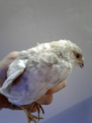 6 Only Fertile Coturnix Quail Hatching Eggs Assorted Colors Will Have Many Rare