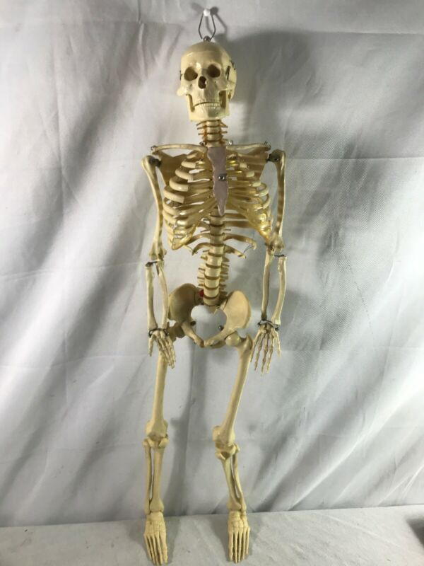 Human Display Plastic Anatomical Skeleton Medical Educational Jaw Movement