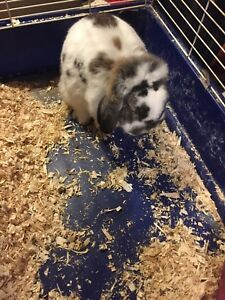 French Lop Ear