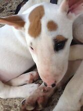 Mini Bull Terrier Pups For Sale Gympie Gympie Area Preview