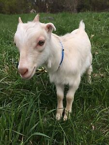 Three Baby goats for sale
