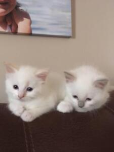 Ragdoll Kittens Springfield Ipswich City Preview
