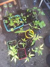 FREE PLANTS - Pigeon Pea, Red Paw Paw, Jade, + More Grange Brisbane North West Preview