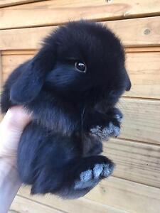 Beautiful Purebred Black Mini Lop Baby Boy Bunny Harrington Park Camden Area Preview