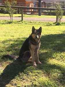 German Shepherd x husky **STILL AVALIBLE Kinglake Murrindindi Area Preview