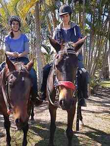 WANTED  STB GELDINGS Wamuran Caboolture Area Preview