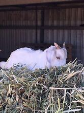 Looking for  female  goat. Maybe swap with 4 month old boar boy Mallala Area Preview