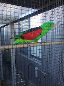 Redwing parrots Newcastle Newcastle Area Preview