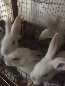 8 weeks old New Zealand rabbits for sale