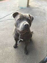 English Staffy Blue Male Tullamarine Hume Area Preview