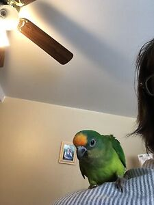 Handfed Peach Fronted Conures