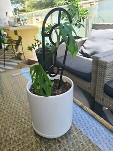 Monstera Adansonii / Swiss cheese plant in white pot Braddon North Canberra Preview