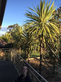 MATURE CORDILYNE PLANTS Singleton Heights Singleton Area Preview