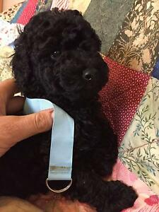 Purebred poodle Mini x Toy black girl Hepburn Area Preview