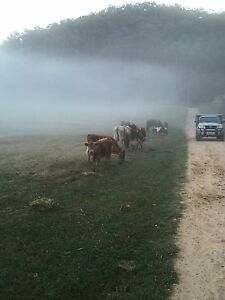 Cattle for sale Blaxlands Ridge Hawkesbury Area Preview