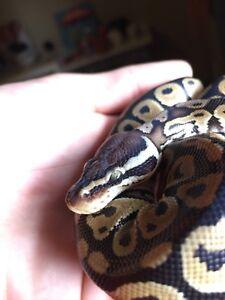Pastel HRA ball python hatchling