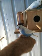 Baby Budgies for sale Labrador Gold Coast City Preview