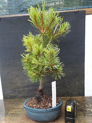 bonsai di pino pentaphilla h 40 cm visita il negozio