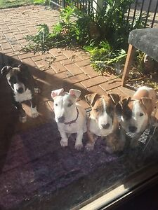 English Bull Terrier X American Blue Bully Puppies 10 weeks Old. Ellenbrook Swan Area Preview