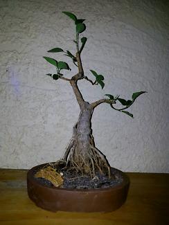 Bonsai aerial roots