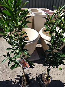 Citrus Trees Mandarin Imperial/Emperor Varieties  both approx 1m hgt $25ea