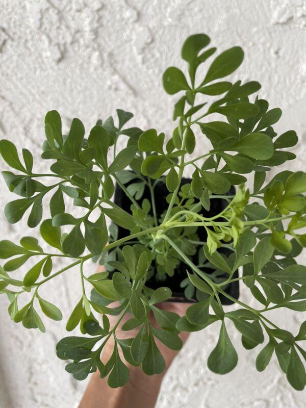 "Ruda Plant Common Rue Ruta graveolens - Herb of Grace 5 Inches Tall-Ship 4"" Pot"