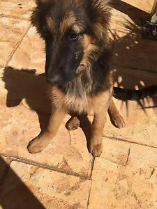 Pure Breed German Shepherd Puppy Bunbury Bunbury Area Preview