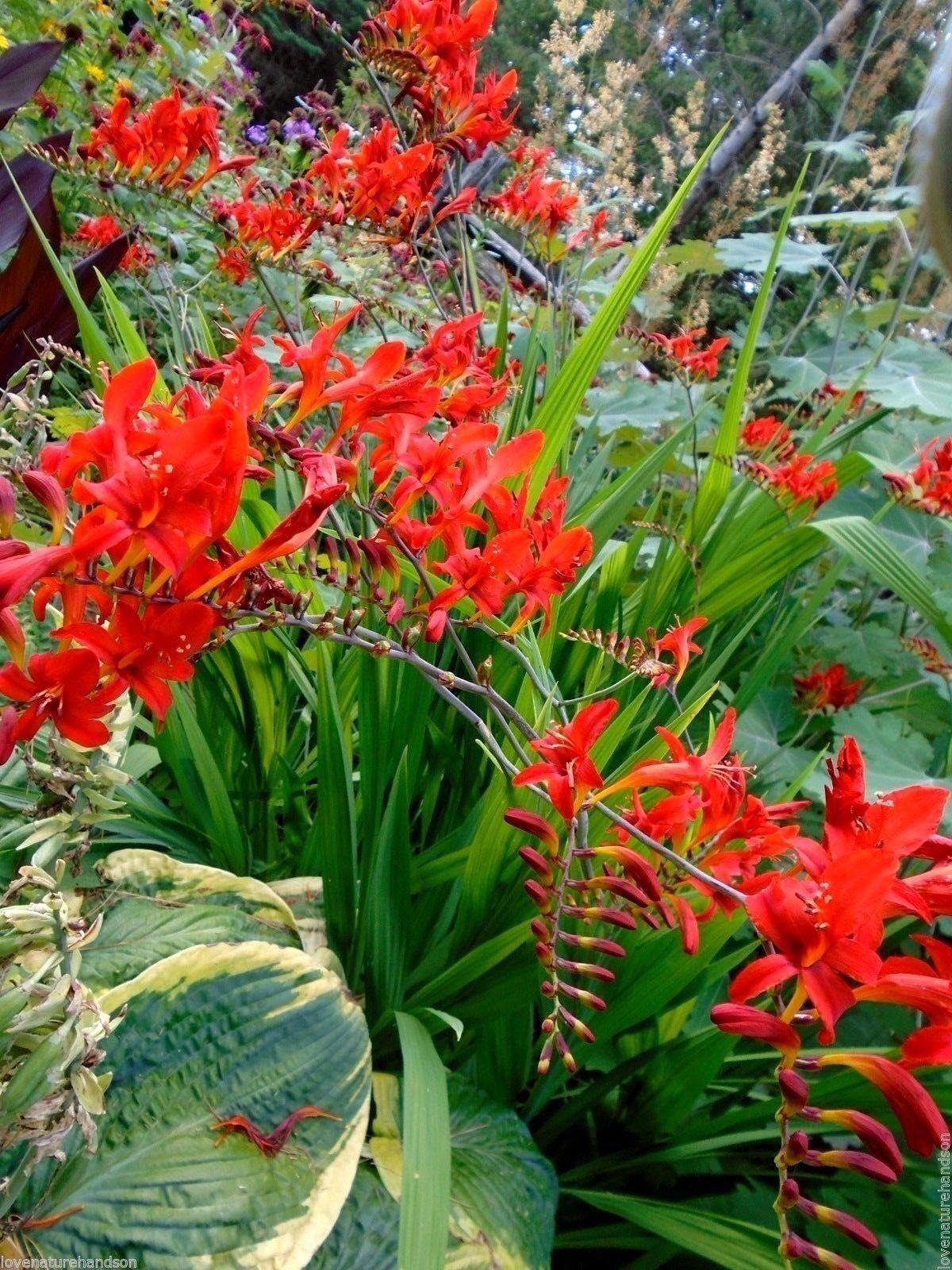 Red Crocosmia Lucifer Hardy Perennial 20 Seed Ebay
