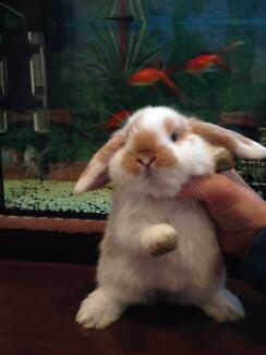 Mini lop rabbits (ADORABLE) Greenacre Bankstown Area Preview