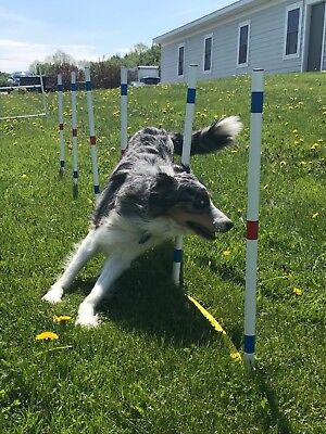 Dog Agility Equipment Stick in the Ground Weave Poles-set of 12 w/pole placer