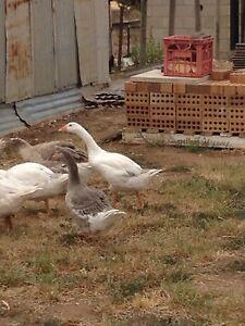 Geese Minlaton Yorke Peninsula Preview