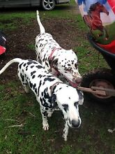 Purebred Dalmatian Pups Goulburn 2580 Goulburn City Preview