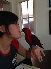 "Eclectus Parrot. ""Ellie"" Blackburn Whitehorse Area Preview"
