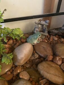 Green Tree Frogs - complete set up