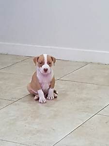 Red nose staffy pup male 1 left Merrylands Parramatta Area Preview