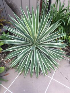 Large variegated yucca and agaves -$25 the lot.