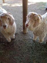 Pet angora goats x2 Echuca Campaspe Area Preview