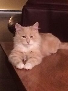 Beautiful Male Maine Coon Mix