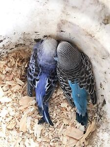 Baby budgies Windsor Hawkesbury Area Preview
