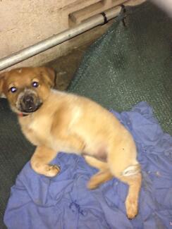 Pups for sale Ayr Burdekin Area Preview