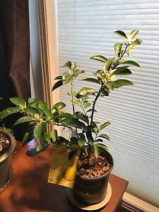 Sambo Sweet Lemon Tree for Sale VERY RARE