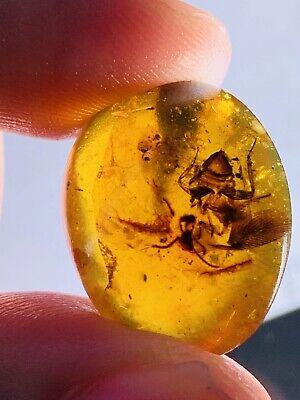 Unknown Big Bug Burmite Myanmar Burmese Amber insect fossil dinosaur age