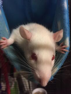 Albino male rat