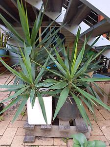 Yukkas Yucca Plants Tropical Landscaping Drought tolerant Upper Mount Gravatt Brisbane South East Preview