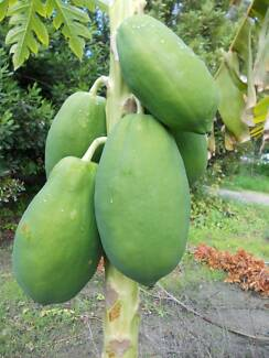 FRUIT TREES PECAN NUT TREES MACADAMIA NUT TREES ONLY $1 PLUS MORE West Perth Perth City Preview